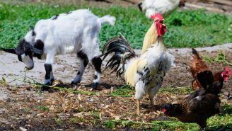 WILD Video Shows Heroic Farm Animals Annihilate Hawk Trying To Eat Their Chicken Friend