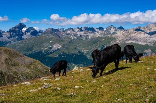 Switzerland Cow Airlift Alps