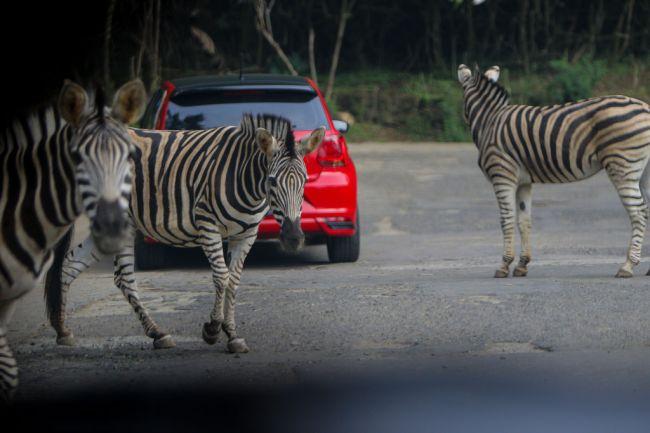 Zebras Loose Maryland