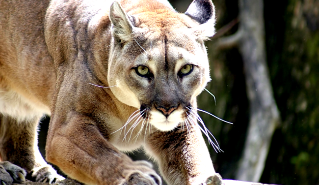 Hero Mom Fights Off Mountain Lion By Punching It After It Attacks Son