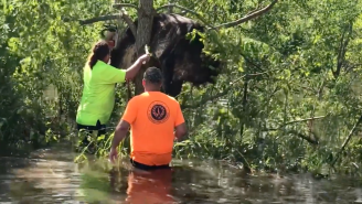 A Louisiana Cow That Got Stuck In A Tree Has Been Rescued From Flood Waters With Chainsaws