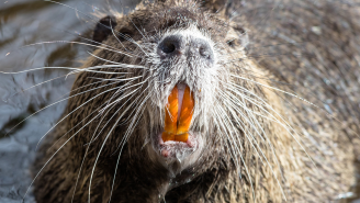 Man Who Was Almost Gnawed To Death By A Beaver Shares Gory Details Of The Unprovoked Attack