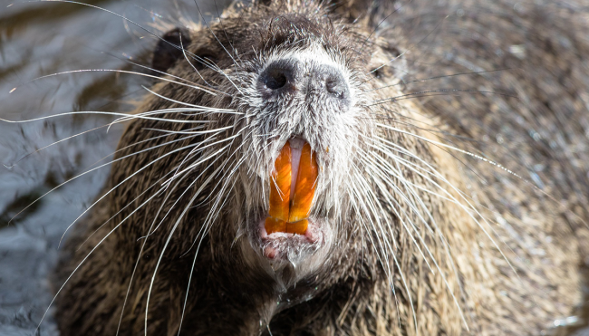 man almost killed beaver attack details
