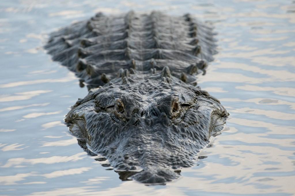 biggest alligator ever in Florida