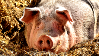 Doctors Successfully Transplanting Pig Parts Into A Human Body Hailed As A Medical Breakthrough