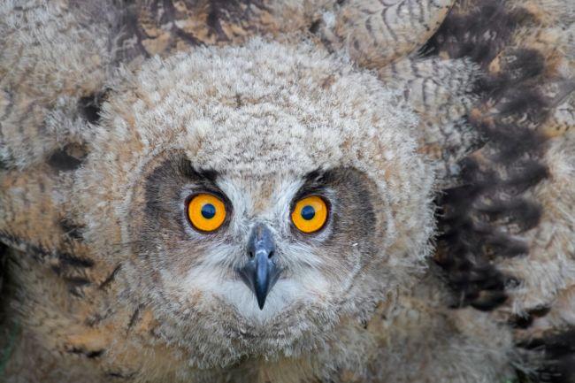 Gladys Eurasian eagle owl Minnesota zoo escape apple valley