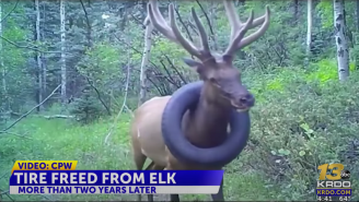10-Pound Tire Stuck Around Colorado Elk's Neck Finally Removed After Years Of Failed Attempts