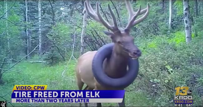 Colorado Bull Elk Free From Tire Around Neck