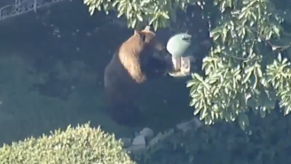 A Bear Chase Is Currently Underway In Los Angeles And The Adorable Bear Won't Stop Causing Chaos
